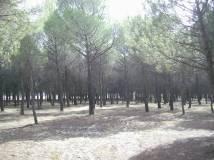 Pine woods, Parador de Tordesillas