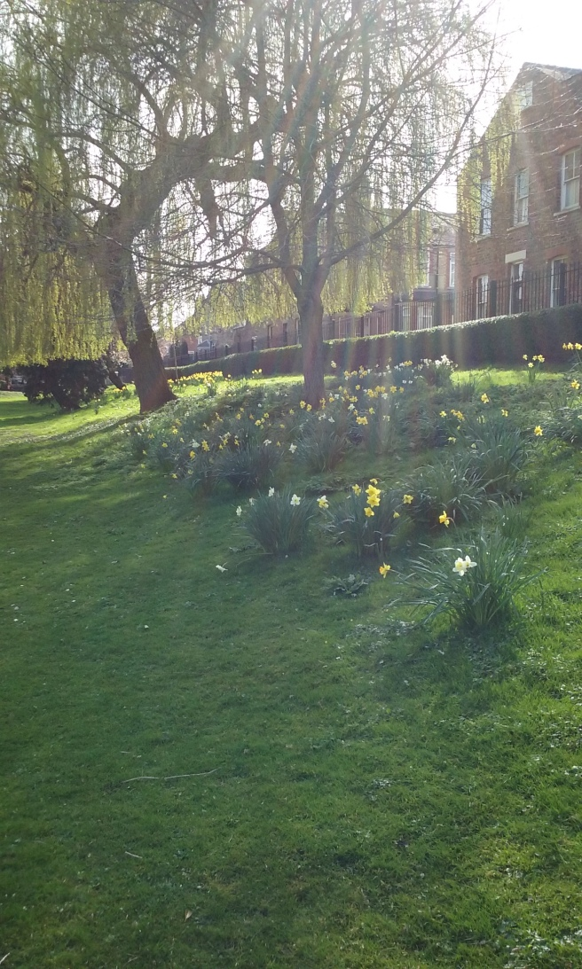 Daffodils in Rowntree Park, York