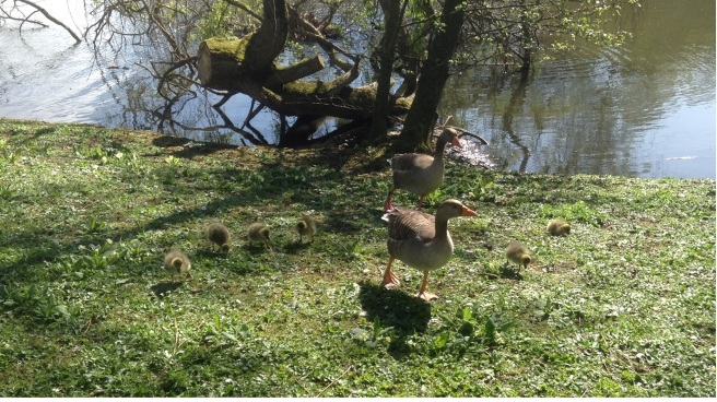Goslings, York University campus