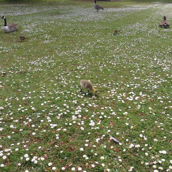 Goslings and daisies, Rowntree Park