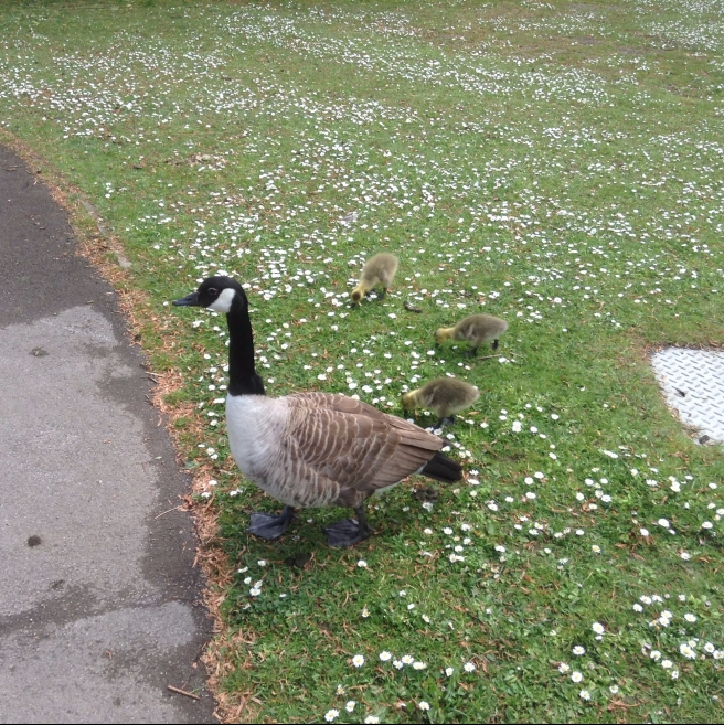 Canada geese, Rowntree Park