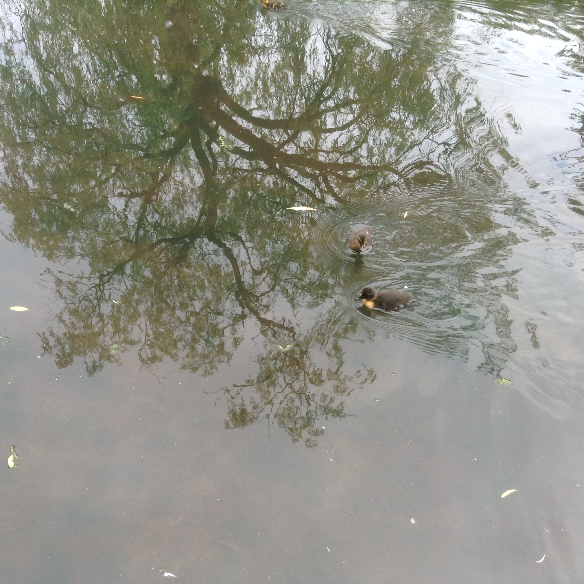 Ducklings in Rowntree Park