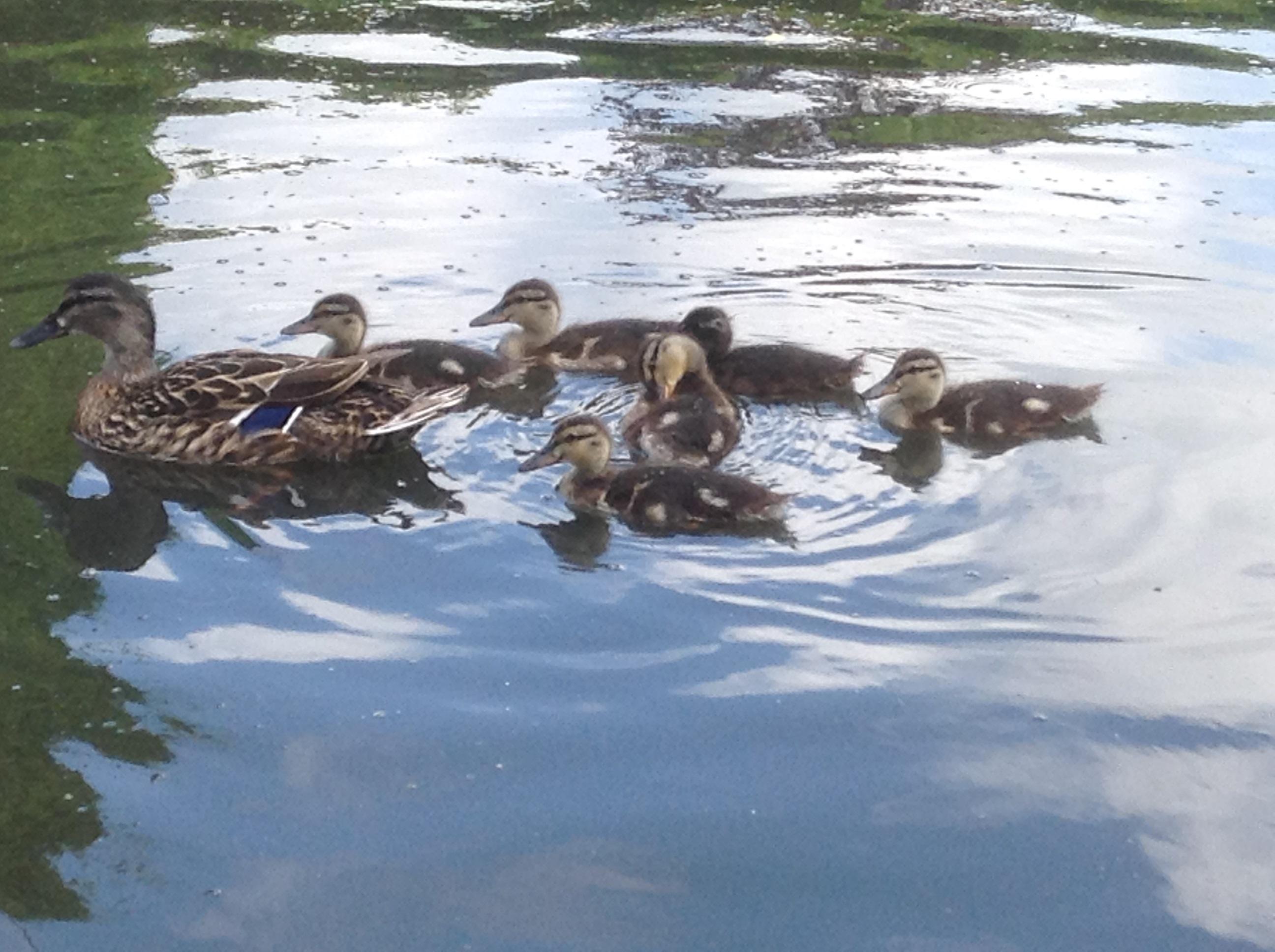 Ducklings, Rowntree Park
