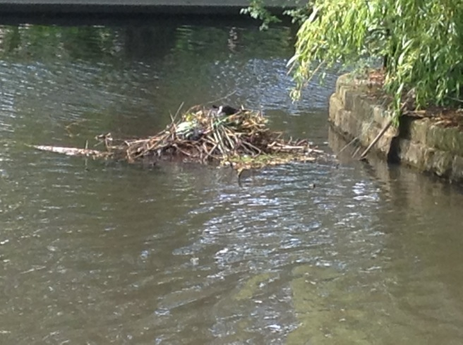 Coot's nest, Rowntree Park