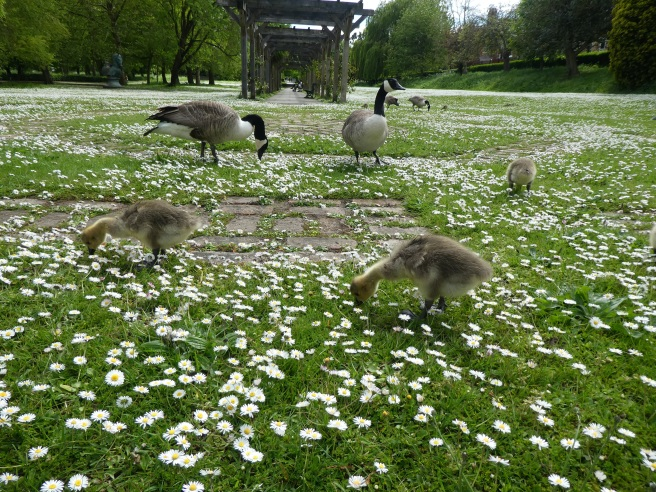 Goslings, Rowntree Park