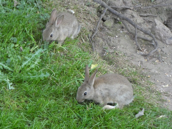 Wild rabbits, Doxford Cottages